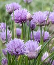 chives_02